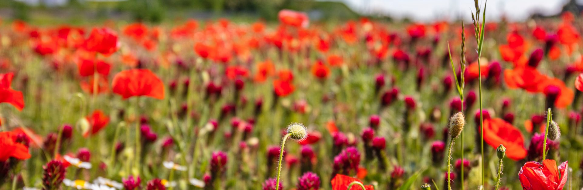 Field,Of,Red,Poppy,.spring,Nature