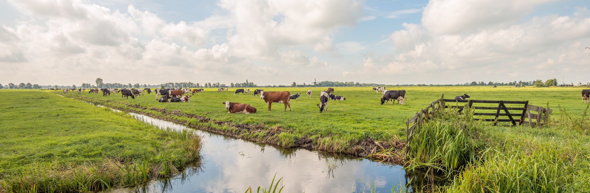 Typical,Dutch,Polder,Landscape,With,Grazing,Cows,In,The,Meadow